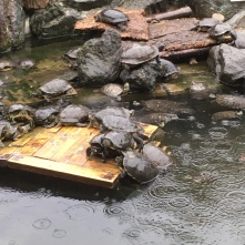 Turtles at iZoo-3